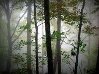 Foggy_trees